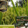 penggunaan pupuk eco farming pada tanaman padi